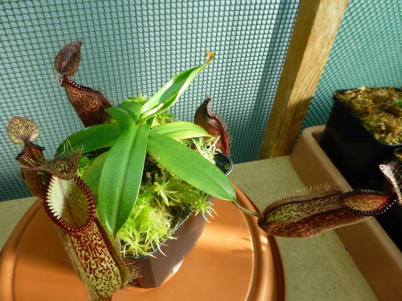 photos de nepenthes Hamata12