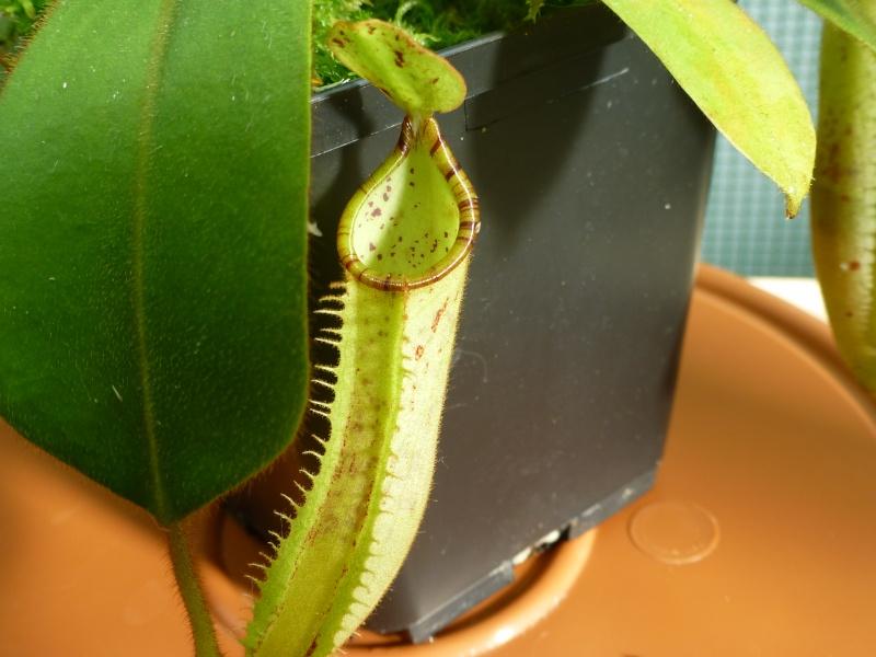 photos de nepenthes Platyc12