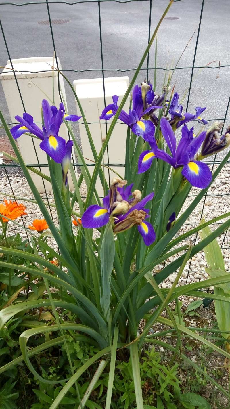 Un iris de hollande bien équipé ! Img_2021