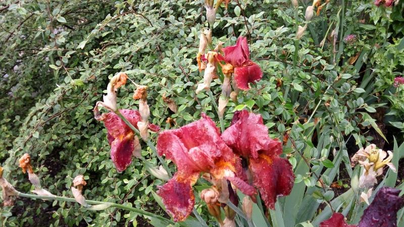 Identification de deux iris  Img_2026