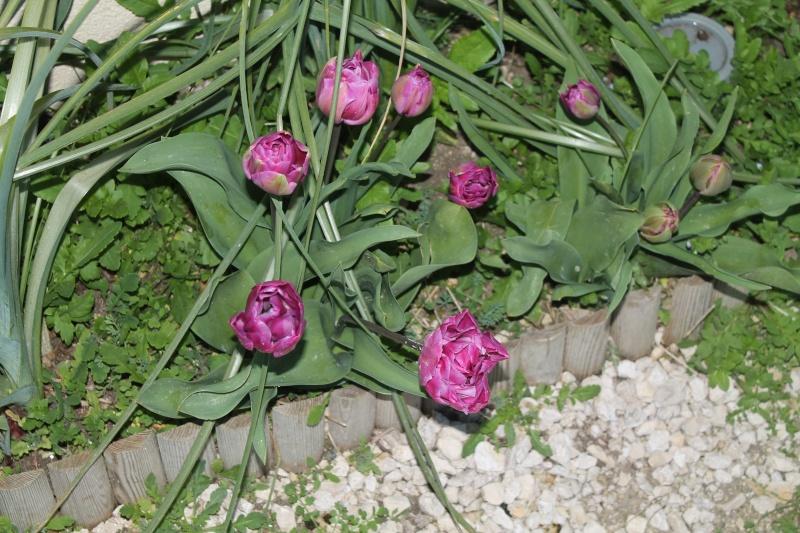 Les tulipes Img_3214