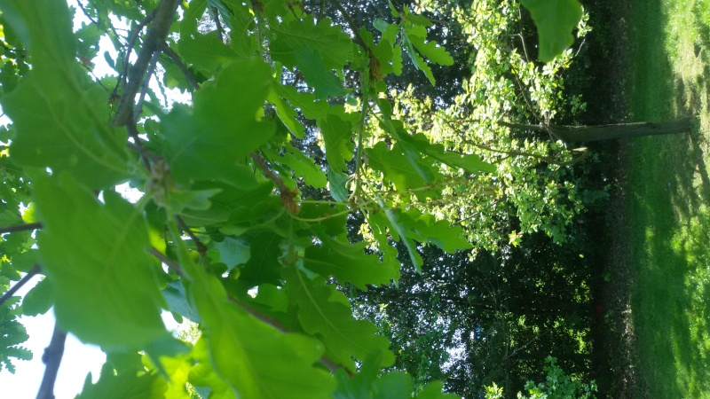 Quale quercia? 20160449