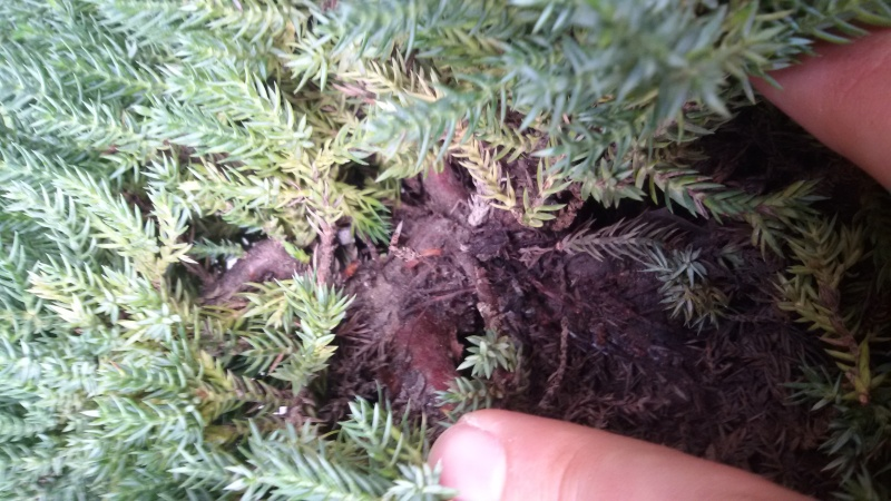 Juniperus squamata e procumbens.  20160510