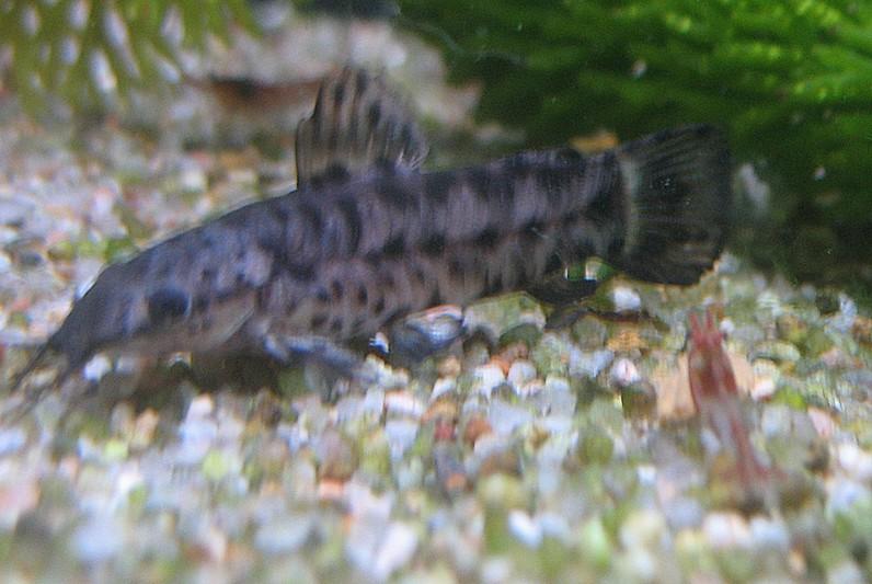 Le nom de ce poisson de fond ?  Poisso10