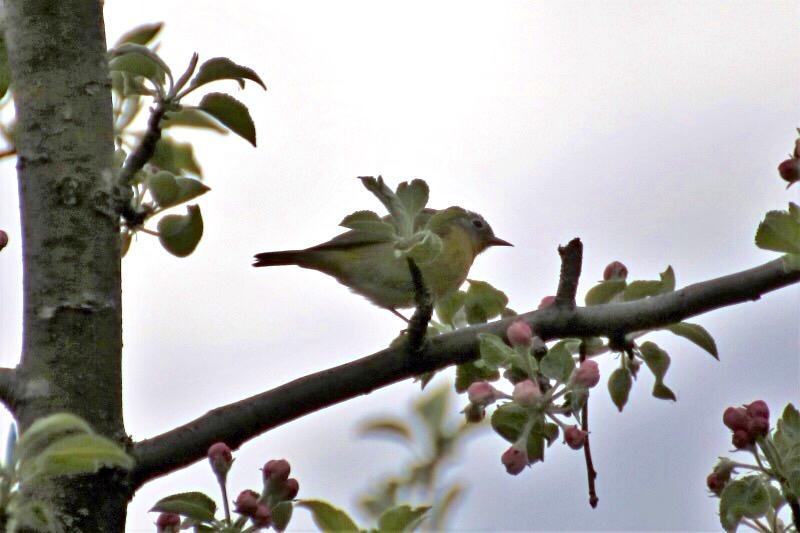 Aide pour identifier cet oiseau Image153
