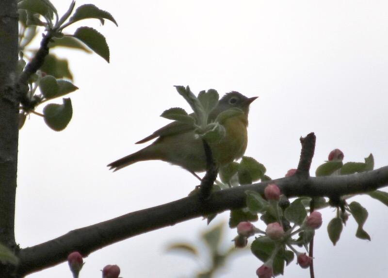 Aide pour identifier cet oiseau Image155