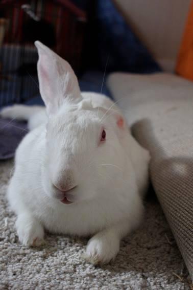 [ADOPTE] Baloo, jeune lapin de laboratoire à adopter 10308310