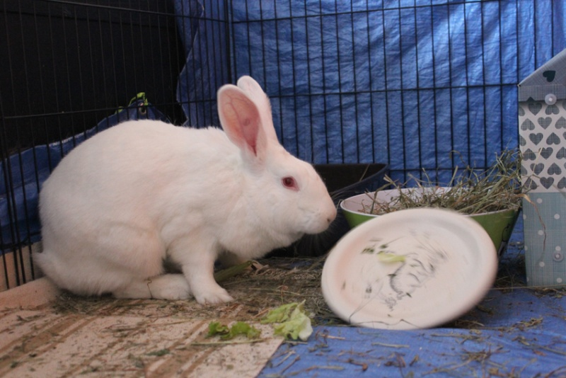 [ADOPTEE] Acacia, lapine de laboratoire à adopter 12122210