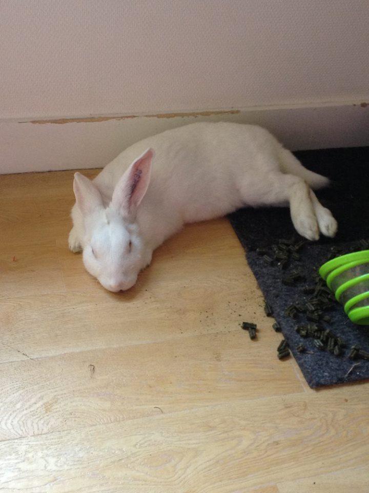 [ADOPTE] Buck, jeune lapin de laboratoire à adopter 12919710