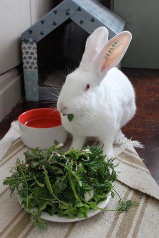 [ADOPTEE] Acacia, lapine de laboratoire à adopter 12990910