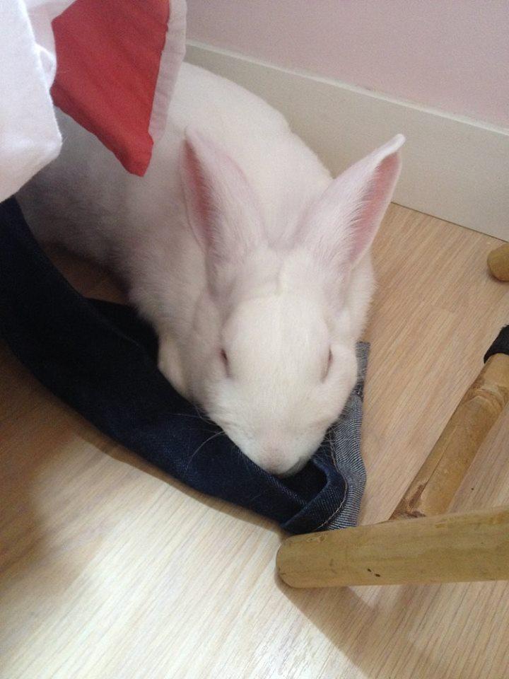 [ADOPTE] Buck, jeune lapin de laboratoire à adopter 13007210