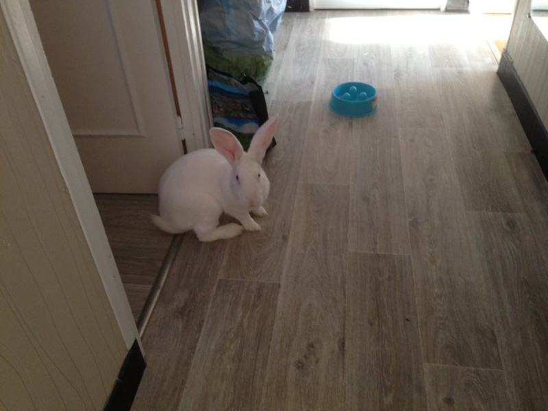 [ADOPTE] Berlioz, jeune lapin de laboratoire à adopter 13092110
