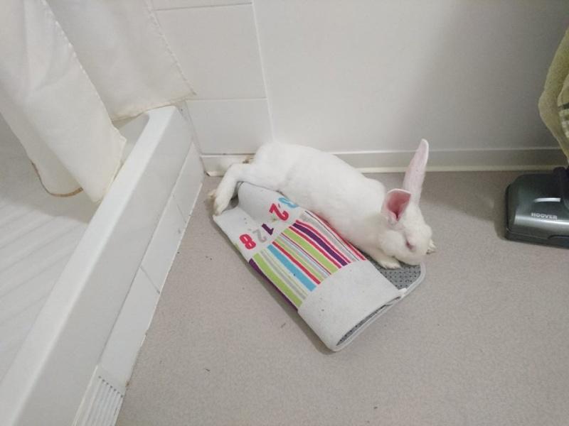 [ADOPTE] Baltic, jeune lapin de laboratoire à adopter 13094410