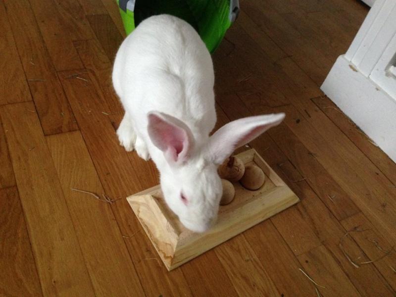 [ADOPTE] Berlioz, jeune lapin de laboratoire à adopter 13151710