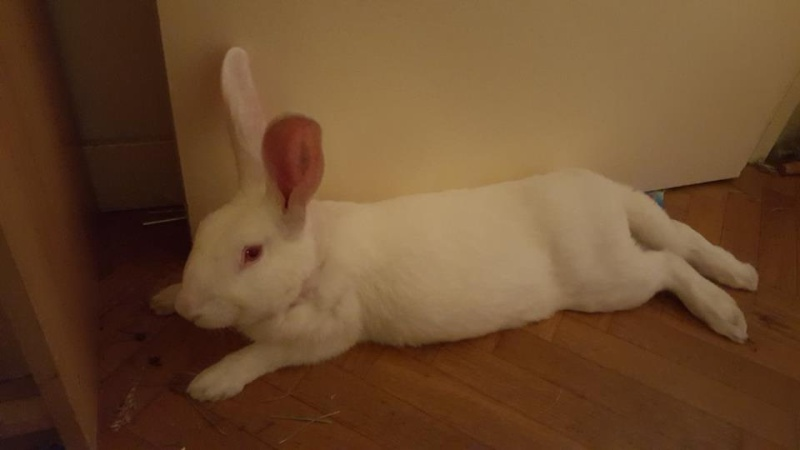 [ADOPTE] Bambou, jeune lapin de laboratoire 13230110