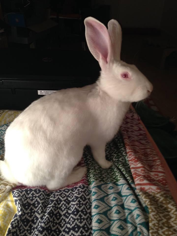 [ADOPTE] Buck, jeune lapin de laboratoire à adopter 19138210