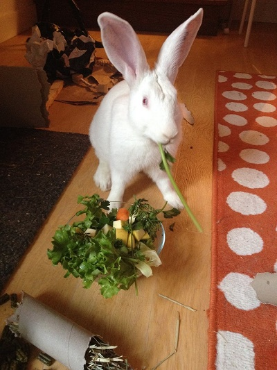 [ADOPTE] Buck, jeune lapin de laboratoire à adopter 28410610