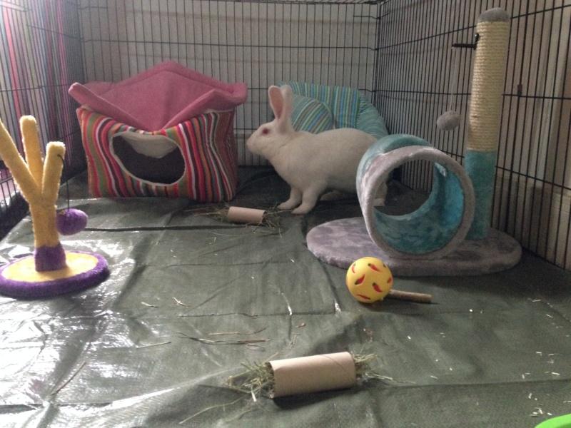 [ADOPTE] Baloo, jeune lapin de laboratoire à adopter 51234210