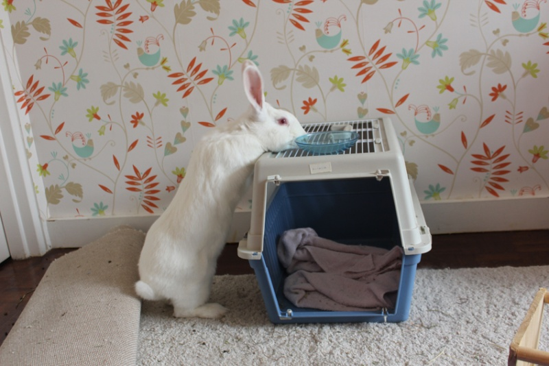 [ADOPTEE] Acacia, lapine de laboratoire à adopter 54120010