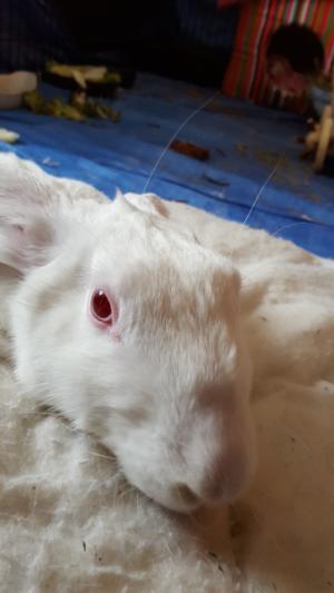 [ADOPTE] Baloo, jeune lapin de laboratoire à adopter 77390710