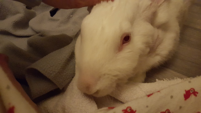 [ADOPTE] Bambou, jeune lapin de laboratoire 89460910