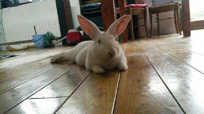 [ADOPTE] Binkie, jeune lapin de laboratoire à adopter 93855210