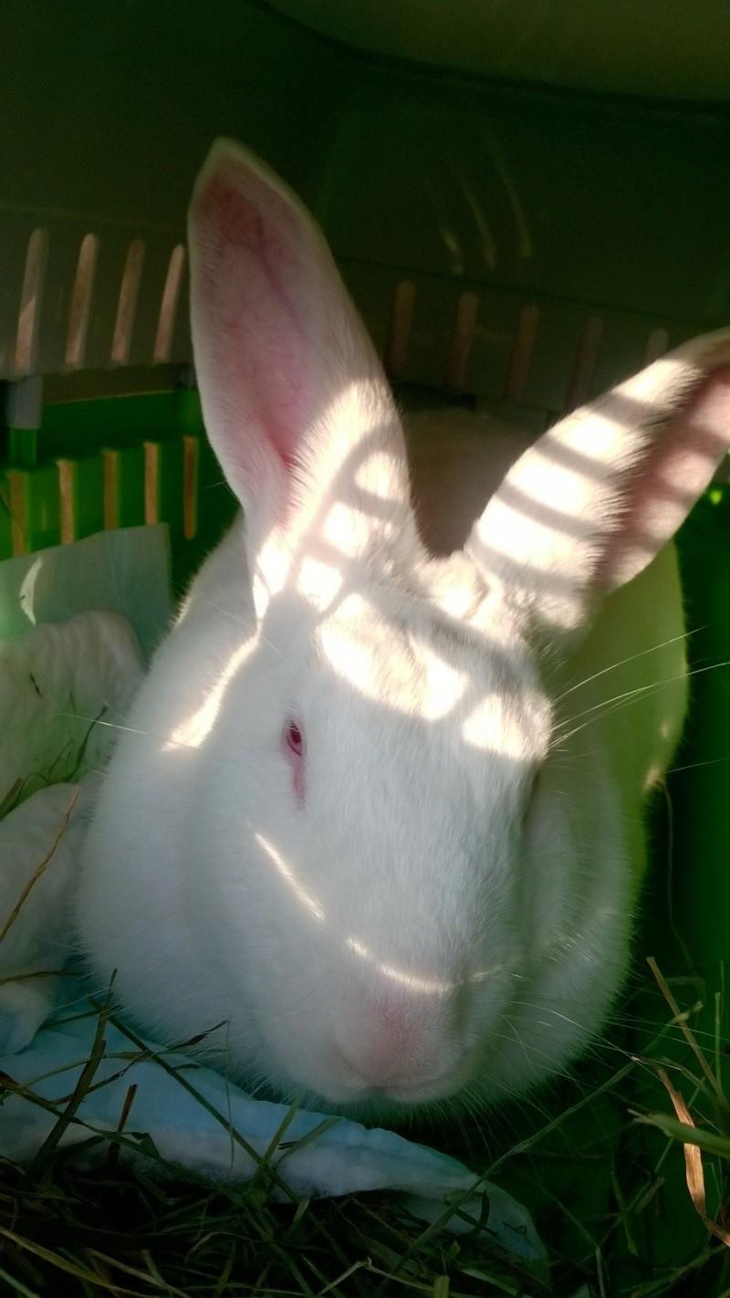 [ADOPTE] Berlioz, jeune lapin de laboratoire à adopter 97086910
