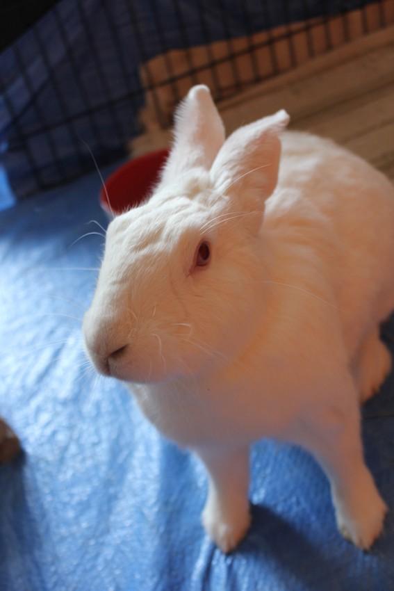 [ADOPTEE] Acacia, lapine de laboratoire à adopter 97388710