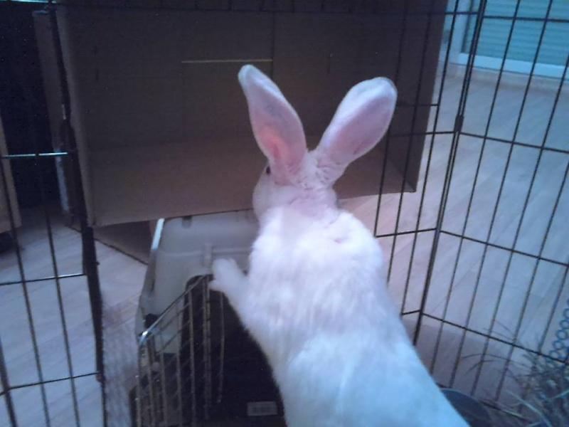 [ADOPTE] Buzz, jeune lapin de laboratoire à adopter Abuzz110