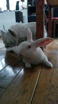 [ADOPTE] Binkie, jeune lapin de laboratoire à adopter Binkie10