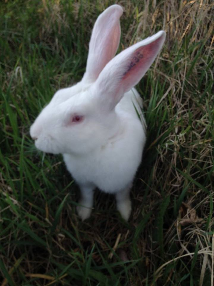 [ADOPTE] Buck, jeune lapin de laboratoire à adopter Buck10