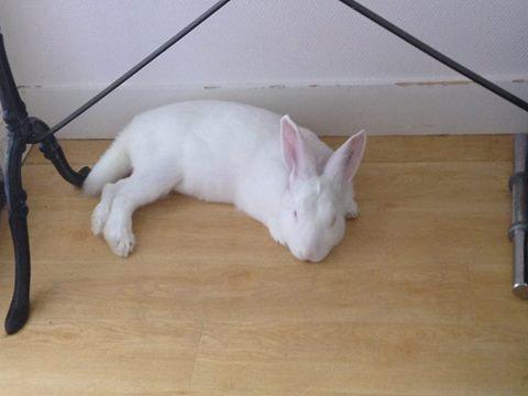 [ADOPTE] Buck, jeune lapin de laboratoire à adopter Buck11