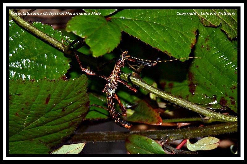 "Parectatosoma cf hystrix ""Moramanga"" (P.S.G n° ???) Parect11"