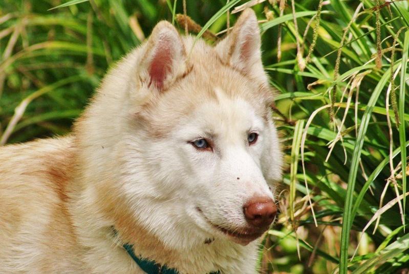 Lo-Jack Alias Ghost (Sibirian husky) - Page 3 13129010