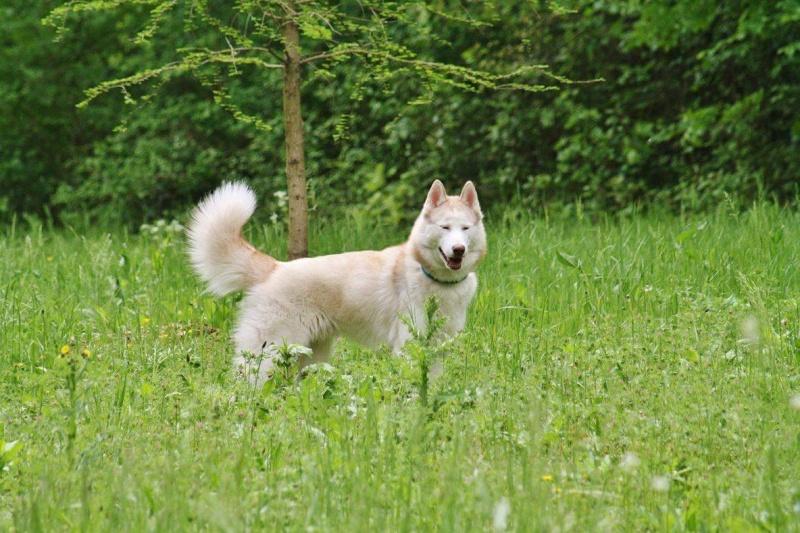 Lo-Jack Alias Ghost (Sibirian husky) - Page 3 13199010