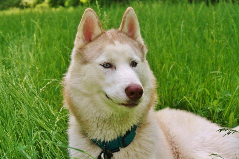 Lo-Jack Alias Ghost (Sibirian husky) - Page 3 13199410