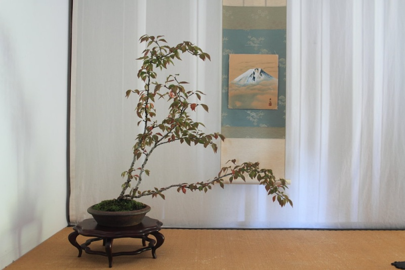 Prunus incisa Img_1610