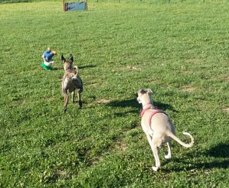 Lucky whippet de 7 mois à l'adoption Adopté 2016-015