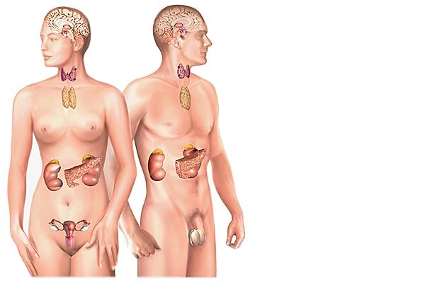 Les glandes endocrines  Glande10