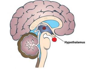 Les glandes endocrines  Hypoth10