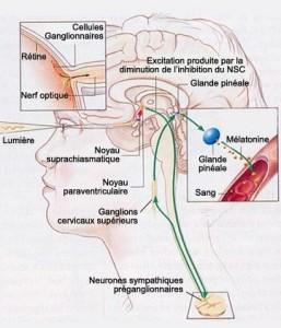 Les glandes endocrines  Pinyal10