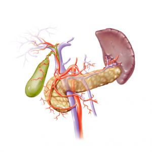 Les glandes endocrines  Vysicu10