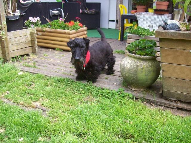 AMANDINE et PRALINE Scotthish Terrier - ADOPTÉES TOUTES LES 2 Amandi11