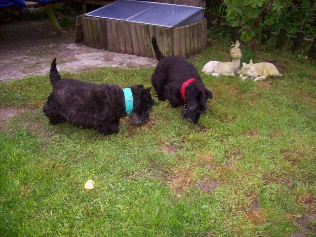 AMANDINE et PRALINE Scotthish Terrier - ADOPTÉES TOUTES LES 2 Amandi12