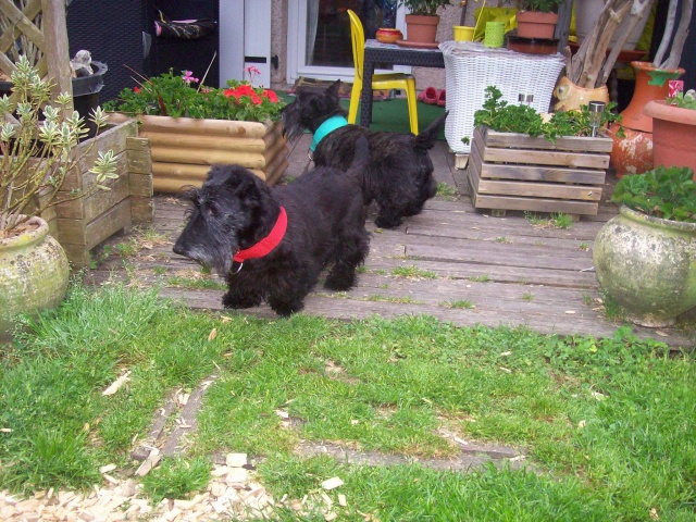 AMANDINE et PRALINE Scotthish Terrier - ADOPTÉES TOUTES LES 2 Amandi13