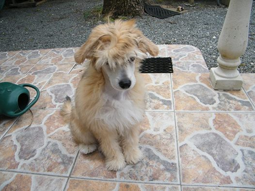 MANI petit chien chinois à houpette de 4 mois  Adopté Mani110