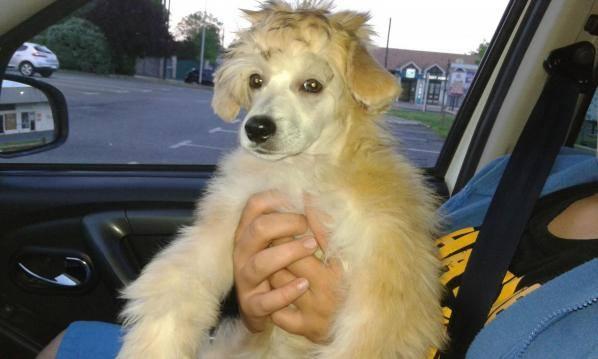 MANI petit chien chinois à houpette de 4 mois  Adopté Mani210