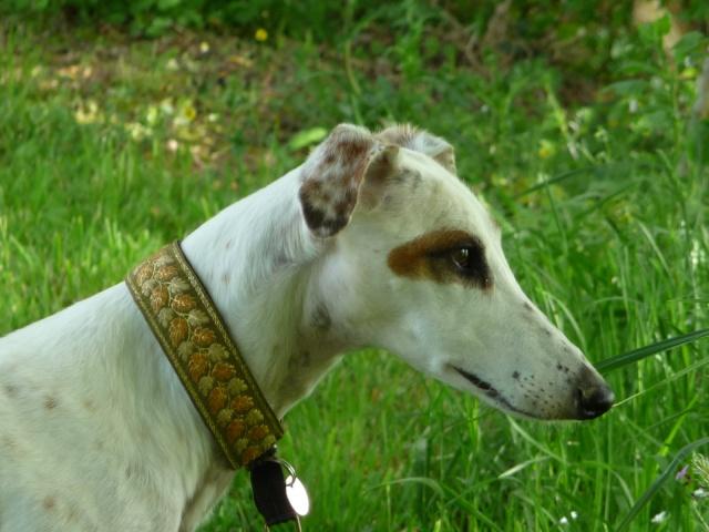 DELICIA galga blanche et bringée, 3 ans adoptée  - Page 2 P1000810