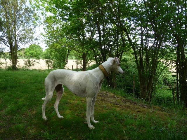 DELICIA galga blanche et bringée, 3 ans adoptée  - Page 2 P1000811