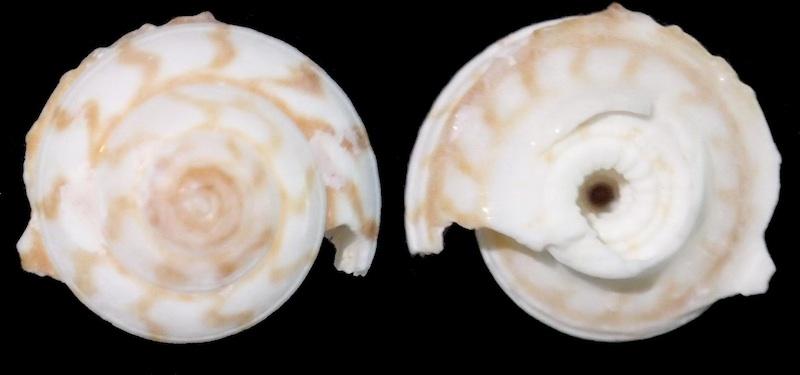 Architectonicidae (je pense), Psilaxis radiatus (peut-être) Archit12